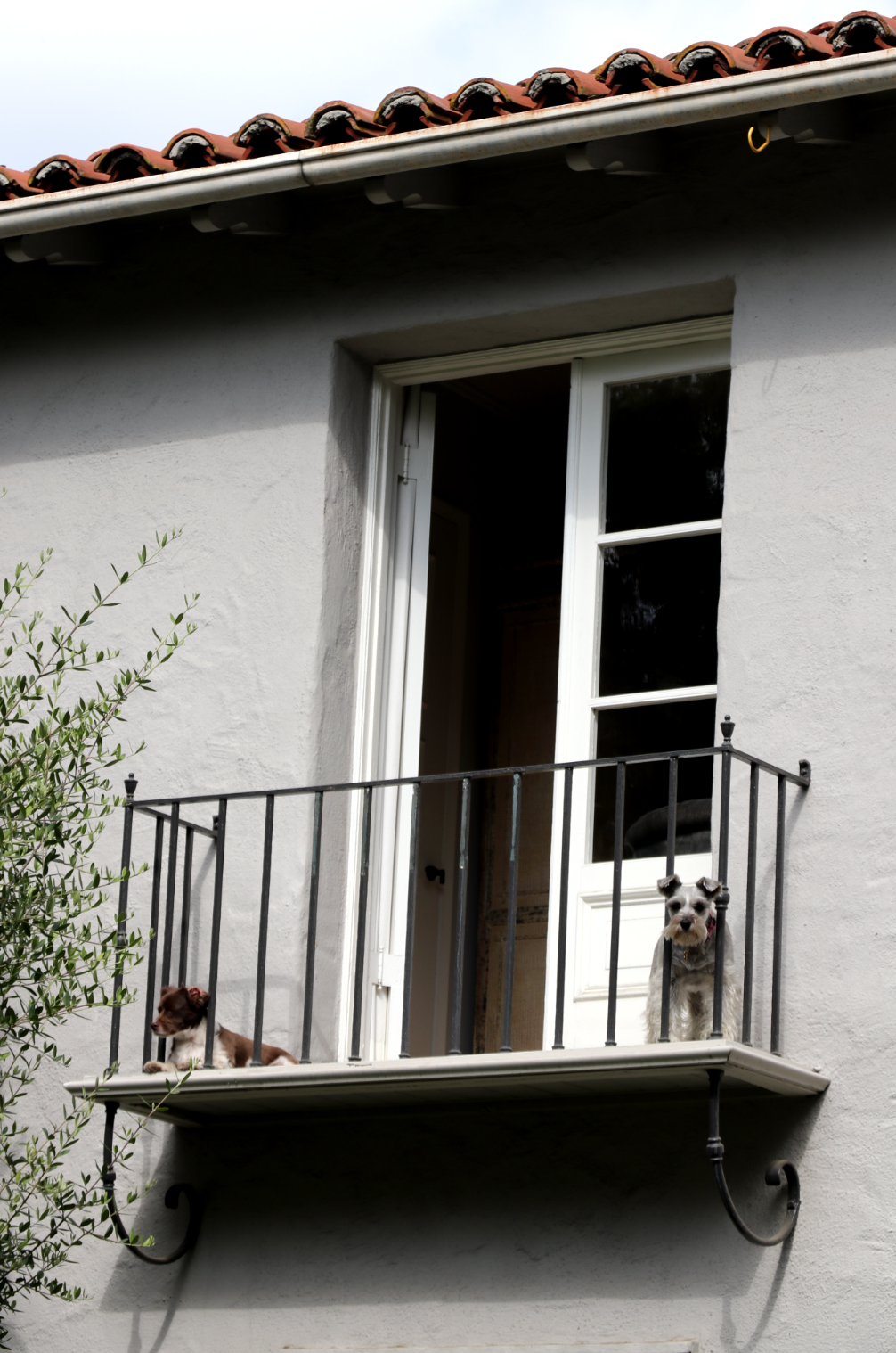 Pups on a Spanish style balcony in Pasadena